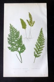 Lowe 1862 Antique Fern Print. Hymenophyllum Childense 69